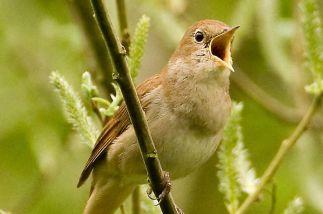 A-nightingale-singing